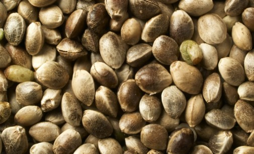 The Legality of Marijuana Seeds for Sale