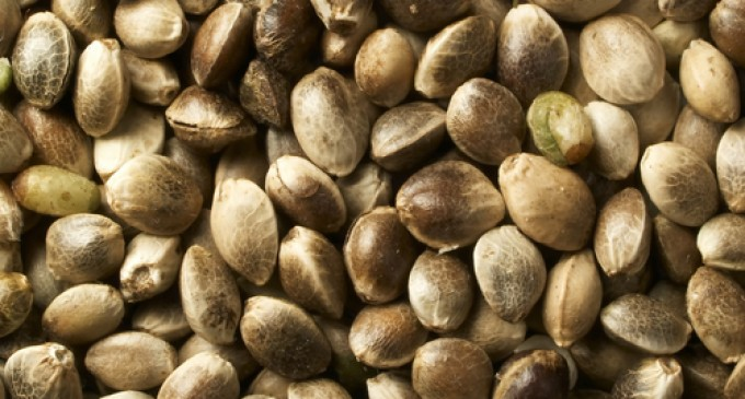 The Legality of Marijuana Seeds for Sale