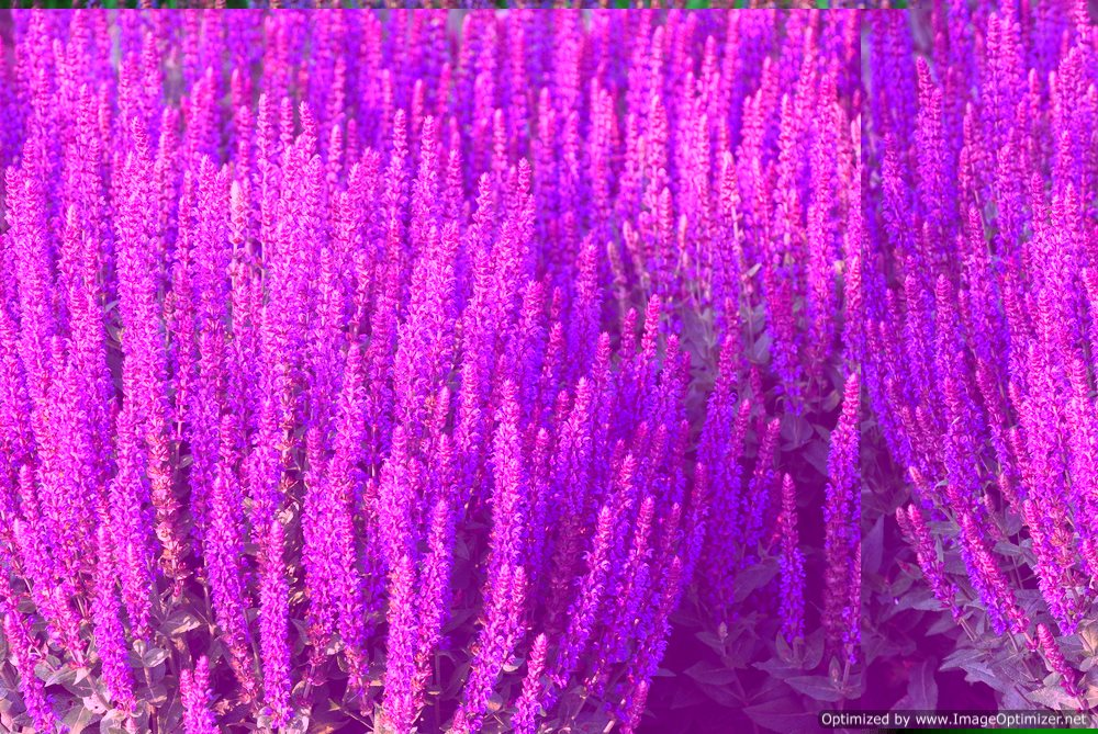 Guide to Salvia